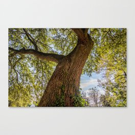 An old crooked oak tree Canvas Print