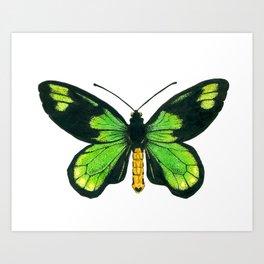 Queen Victoria's birdwing butterfly Art Print