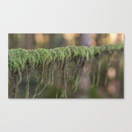 Moss on a branch Canvas Print