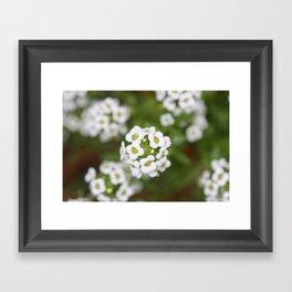 Sweet Alyssum Framed Art Print
