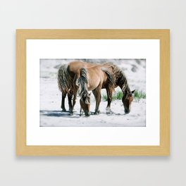 Wild Horses have adapted to life on Sable Island, Nova Scotia Framed Art Print
