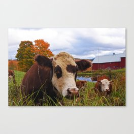 Cow chilling out at Jenne Farm Reading VT Vermont Canvas Print