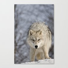 Young Arctic Wolf  Canvas Print