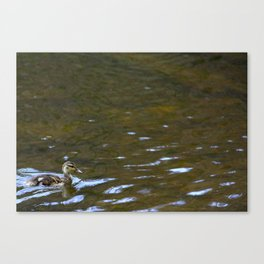 Duckling Swimming Canvas Print