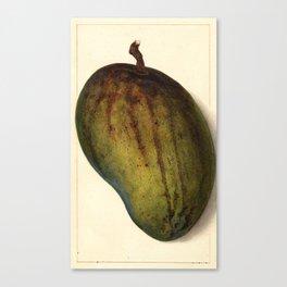 Vintage Illustration of a Mango Canvas Print