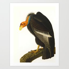 Californian Vulture John James Audubon Vintage Scientific Birds of America Illustration Art Print