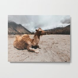 Baby Camel in Ladakh Metal Print
