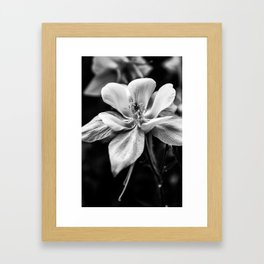 Columbine in Gray -- Colorado State Flower. Framed Art Print