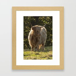 Scottish cow Framed Art Print