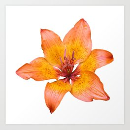Coral Colored Lily Isolated on White Art Print