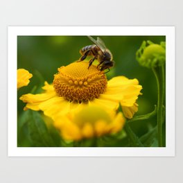Honey Bee on a Helenium Flower Art Print