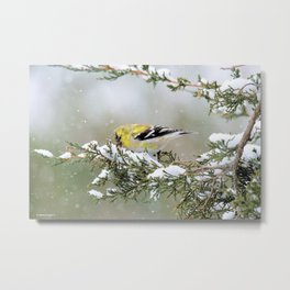 Spring Blizzard (American Goldfinch) Metal Print