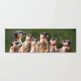 Meerkat Mob Canvas Print