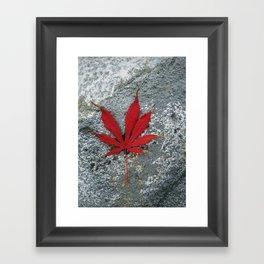 Japanese maple leaf on Rock Framed Art Print