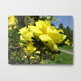 yellow rosebush III Metal Print