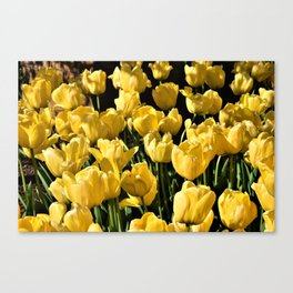 Lovely Yellow Tulips Canvas Print