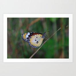 Plain Tiger (Danaus chrysippus) Art Print