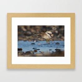 Purple Sandpiper Framed Art Print