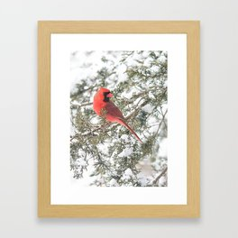 Cardinal on a Snowy Cedar Branch (v) Framed Art Print