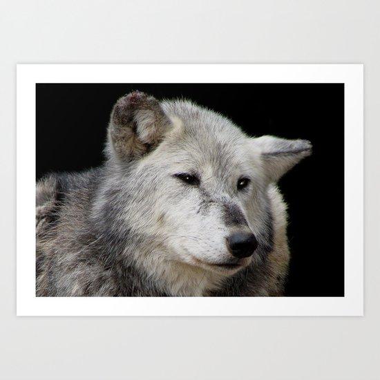 Grey Wolf Close-Up (Canis lupus) Art Print