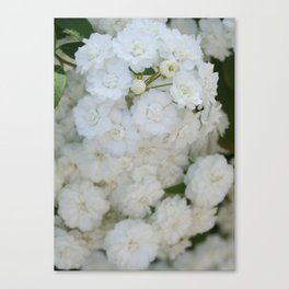 Deutzia Pure and Simple Canvas Print