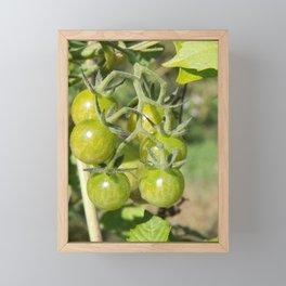 Cherry tomatoes green on the vine Framed Mini Art Print