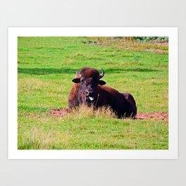 Buffalo Mocks Cameraman Art Print
