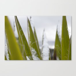 Snow Over Yucca Canvas Print