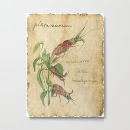 Planimarium - astacoidea justicia brandegeeana Metal Print