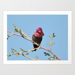Mr. Anna's Hummingbird in Ideal Light Art Print