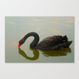 Black Swan Serenity L Canvas Print