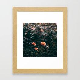 Late Autumn Rose #2 Framed Art Print