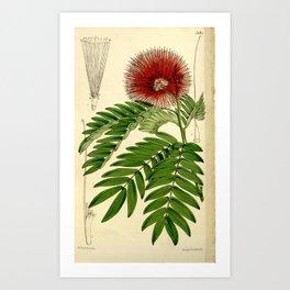 Flower 5181 calliandra haematocephala Red headed Calliandra1 Art Print