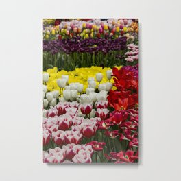 Large Field of Tulips Growing Multicolored Flowers during the Month of April in Amsterdam, Netherlands Metal Print