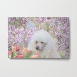Spring Poodle dog Metal Print