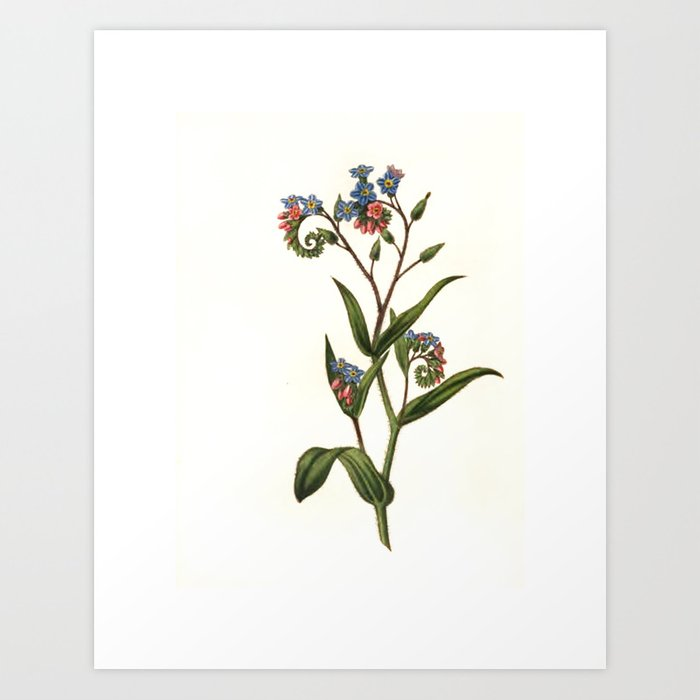 "Forget-me-not from ""The Moral of Flowers"" (1833) by Rebecca Hey Art Print"