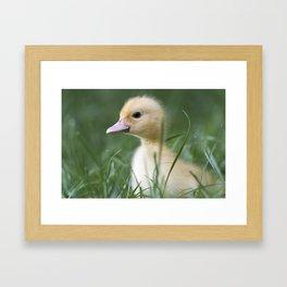 Muscovy duck's duckling on grass Framed Art Print