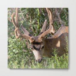 Watercolor Deer, Mule 17, Estes Park, Colorado, The Nibbler Metal Print
