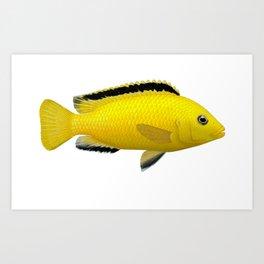 Malawi cichlids Labidochromis caeruleus female Art Print