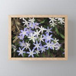 Glory Of Snow Spring Flower Star Framed Mini Art Print