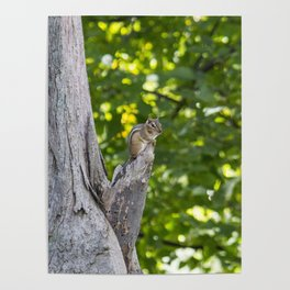Chipmunk on a Tree Poster