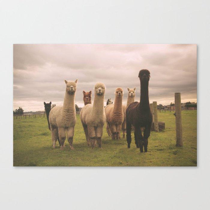 Alpacas at Tio Farm Leinwanddruck