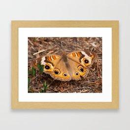 Return of the Common Buckeye Framed Art Print