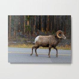 Lone Bighorn Ram, Banff Alberta Metal Print