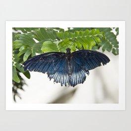 Great Mormon Male Butterfly Art Print