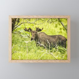 Bull Moose in Kincaid Park, No. 2 Framed Mini Art Print