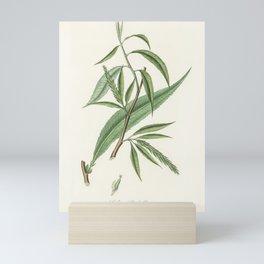 Salix rufselliana illustration from Medical Botany (1836) by John Stephenson and James Morss Churchi Mini Art Print