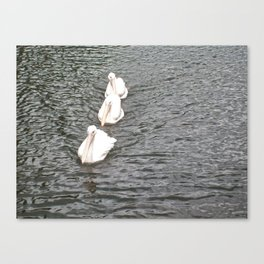 Three White Pelicans Swimming in a Row Canvas Print