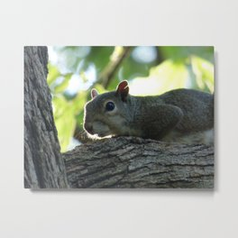 squirrel with notched ear Metal Print