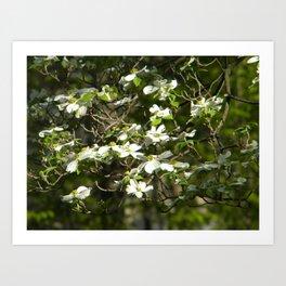 Dogwood Tree in Spring Art Print